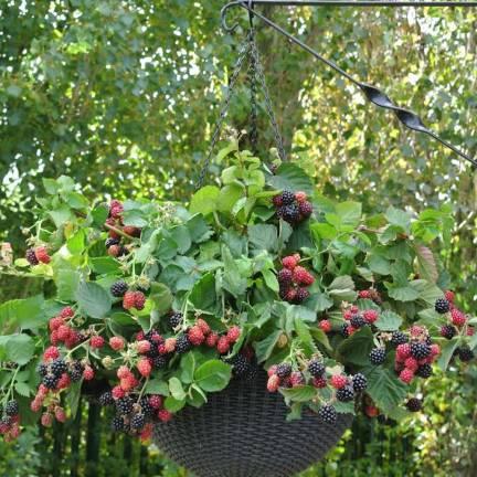 Mûre fruticosus Black Cascade®
