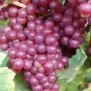 Vigne fraise