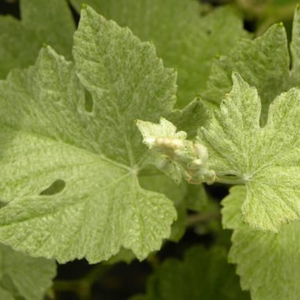 Vigne d'ornement Incana