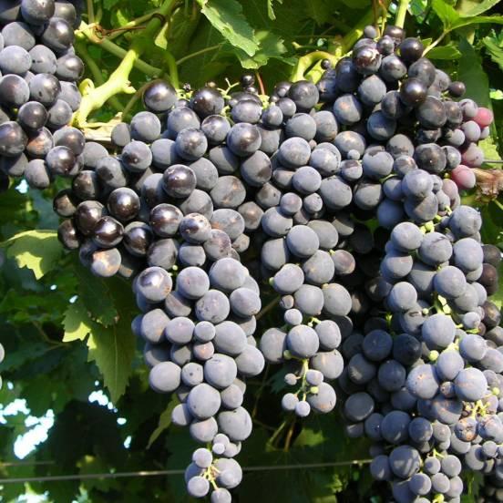 Vigne vinifera Muscat Bleu