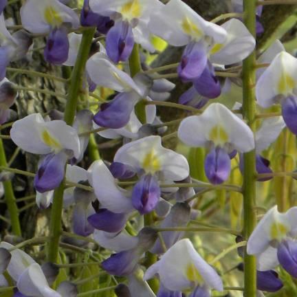 Glycine du Japon floribunda Cascade
