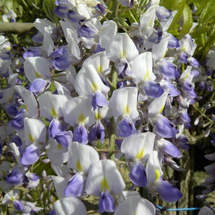 Glycine du Japon floribunda Harlequin