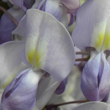 Glycine du Japon floribunda Lavender Lace