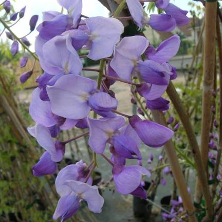 Glycine du Japon Russelliana