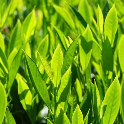 Laurier palme laurocerasus Fontanettes