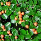 Cotoneaster x Evergreen