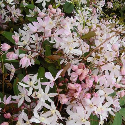 Clématite armandii Apple Blossom