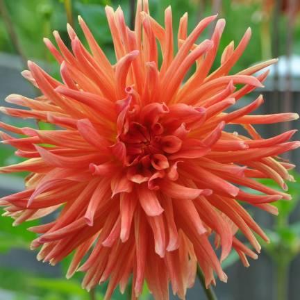 Dahlia cactus Flash