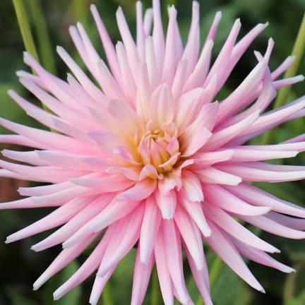 Dahlia cactus nain Park Princess
