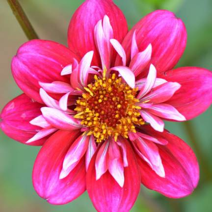 Dahlia collerette Cherry Star