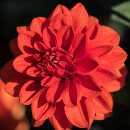 Dahlia decoratif Bacchanal
