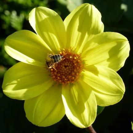 Dahlia nain simple Pollen