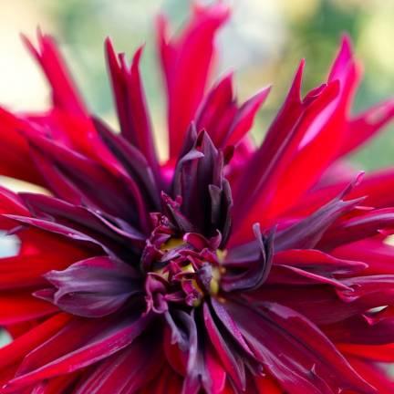 Dahlia décoratif Aramis