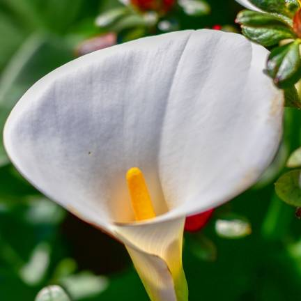 Bulbe d'Arum blanc