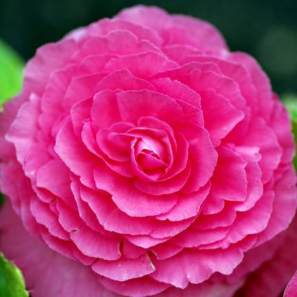 Bulbe de Begonia Double rose