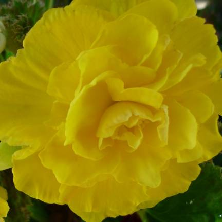 Bulbe de Begonia Pendula jaune
