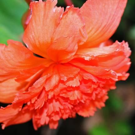Bulbe de Begonia Pendula orange