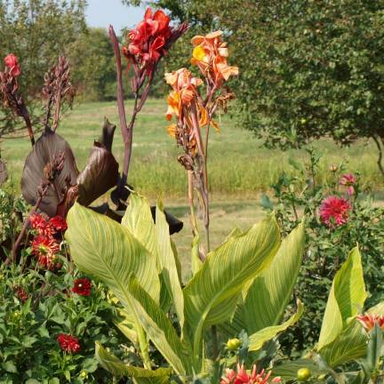 Bulbe de Canna à feuillage vert Varié