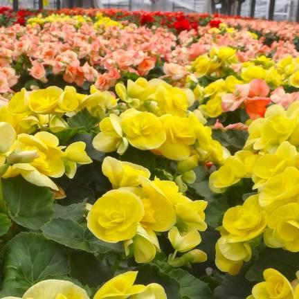 Bulbe de Begonia Double varié