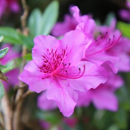 Azalée japonaise Purple Slendor