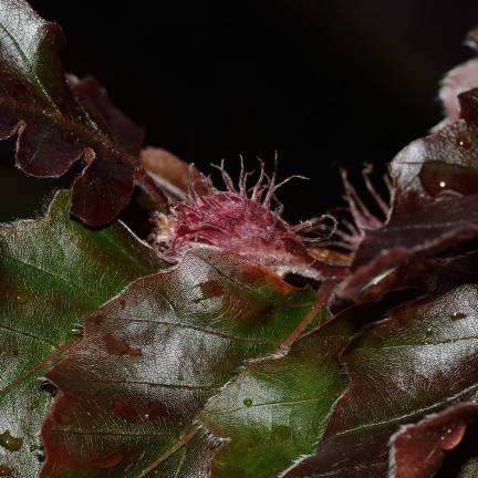 Hêtre commun Purpurea