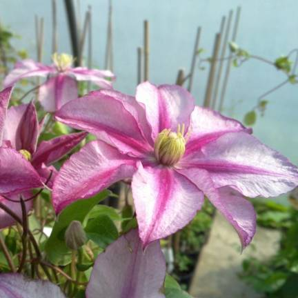 Clematite Lasting Love® ' Grazyna'