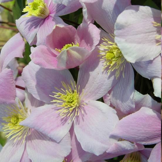 Clématite montana Mayleen
