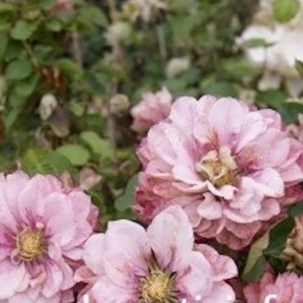 Clématite Pink Passion® 'Zo12325'