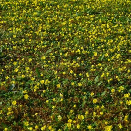 Faux fraisier jaune