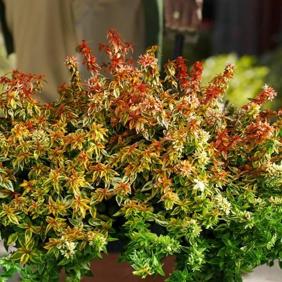 Abélie à grandes fleurs grandiflora Kaleidoscope®