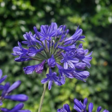 Agapanthe x Brilliant Blue® 'Aga0451'