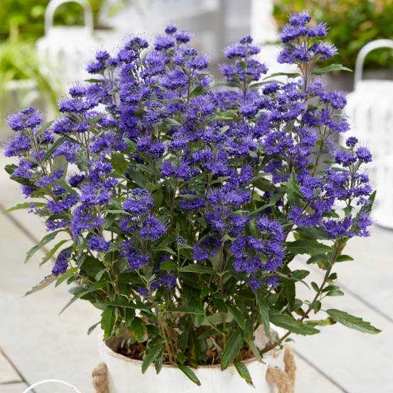 Caryopteris x clandonensis Grand Bleu® 'Inoveris'