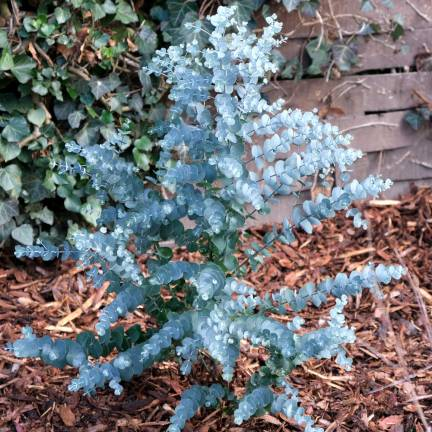 Eucalyptus gunnii Azura®