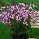 Gaura lindheimeri Sel® Belleza Dark Pink