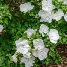 Hibiscus syriacus White Chiffon® 'Notwoodtwo'