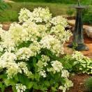 Hortensia paniculata Bombshell