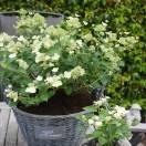 Hortensia paniculata Prim White® 'Dolprim'