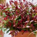 Leucothoe fontanesiana Little Flammes®