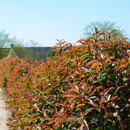 Photinia serratifolia Crunchy® 'Rev100'