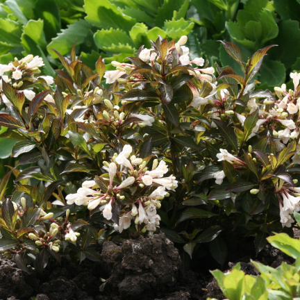 Weigela x Black and White® 'Courtacad1'