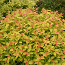 Spirée japonica Double Play® BIG BANG 'Tracy'