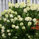 Hortensia paniculata Limelight