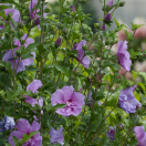 Hibiscus syriacus Lavender Chiffon® 'Notwoodone'