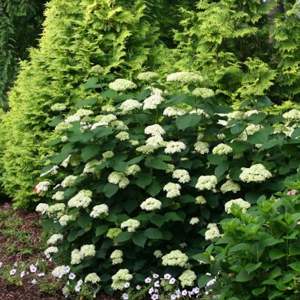 Hortensia de Virginie arborescens Lime Rickey® 'SMNHARL'