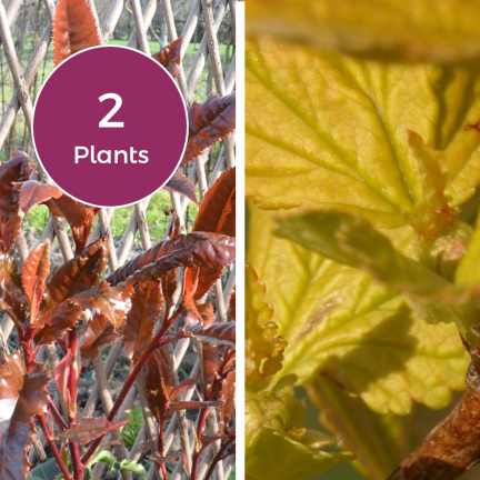 Duo Photinia Crunchy & Physocarpus Diable d'Or® 'Mindia'