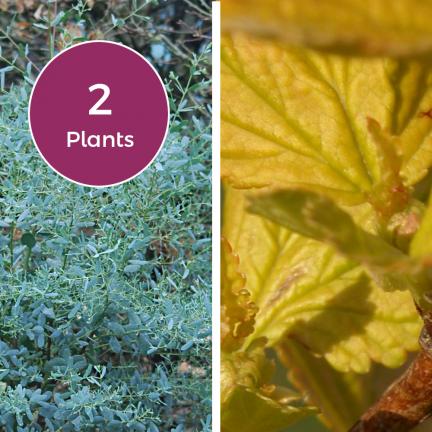 Duo Physocarpe Diable d'Or® 'Mindia' & Eucalyptus France Bleu® 'Rengun'