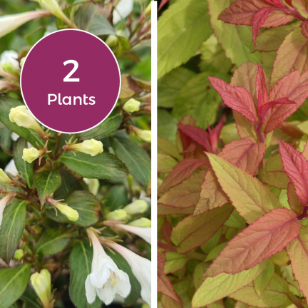 Duo Spirée japonica Goldflame & Weigela x Black and White® 'Courtacad1'