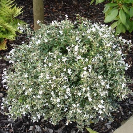 Abélie à grandes fleurs grandiflora Confetti® 'Conti'