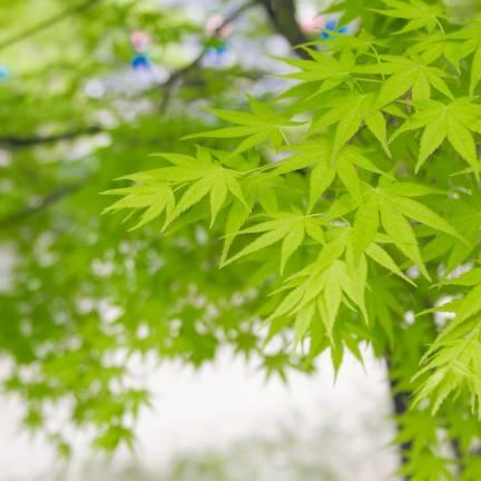 Érable palmé palmatum Summer Gold