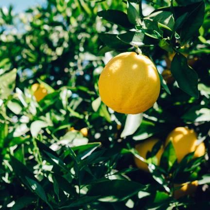 Citronnier limon 4 Saisons